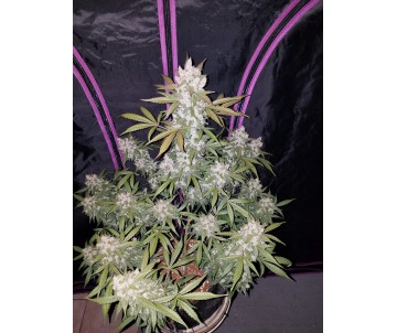FAST BUDS Girl Scout...
