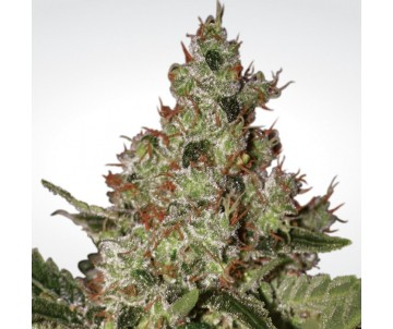 PARADISE SEEDS acid femminized