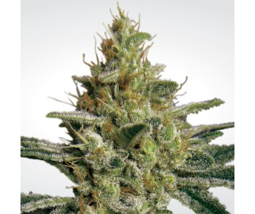 PARADISE SEEDS allkush...
